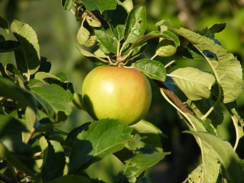 Green-Apples_123091-480x360