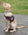Hounds for Heroes 'Cadet' in training