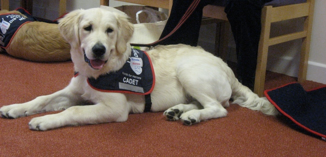 Hounds for Heroes -'Cadet'