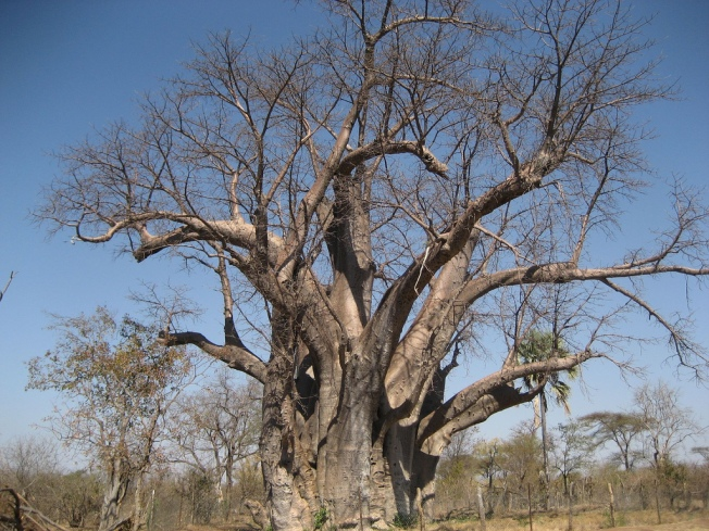 Baobab  Photo taken by daveandlolo