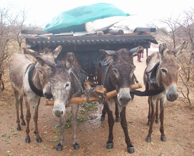 Beit Bridge donkeys carrying a folded house