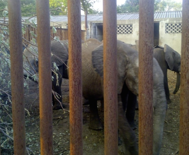 """The transfer of wild-caught elephant calves to zoos is morally indefensible."""