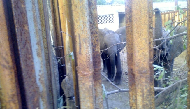 Two of the young elephants currently held in bomas outside Hwange National Park