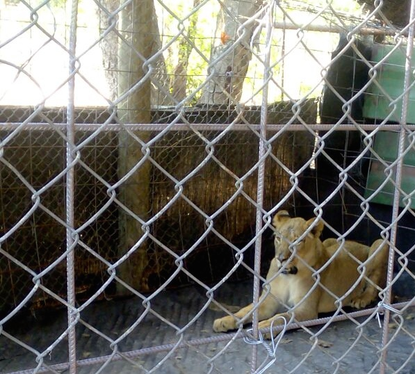 """The capture from the wild and export of African elephants and lions is a conservation issue that should be a major concern to CITES Parties."""