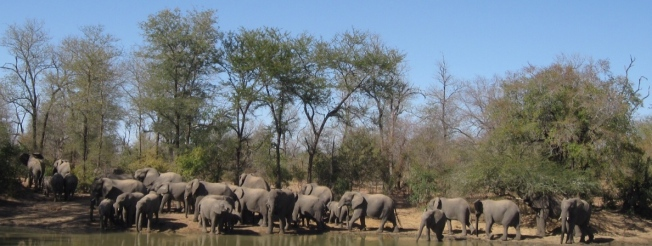 Wild elephants in Zimbabwe