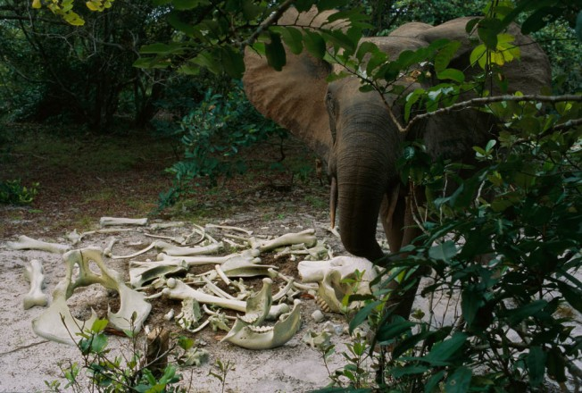 I set up a camera trap near these elephant bones, just to see if anyone would visit. Gabon, 2005 from Earth to Sky, photographs by Michael Nichols (Aperture, 2013) Copyright © Michael Nichols, National Geographic