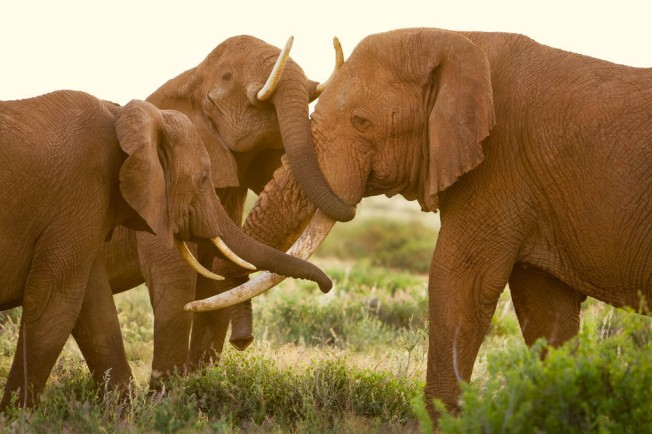 Maya, the matriarch of the Poetics herd, and her daughter greet Boone, an elderly bull that spends most of his time east of the reserve. Samburu National Reserve, Kenya, 2007 from Earth to Sky, photographs by Michael Nichols (Aperture, 2013) Copyright ©MichaelNichols, National Geographic