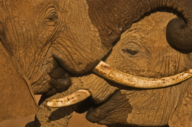Young elephant males test their strength