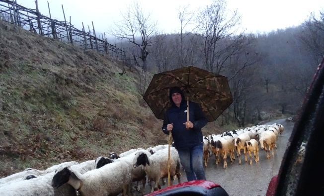 Sheep on the road down from Ravello