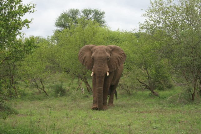 An African elephant at home - photograph taken by Frederik Ahlefeldt-L-L