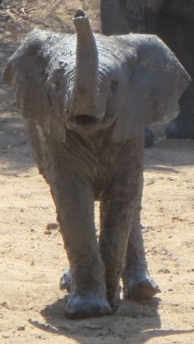 A baby elephant in Zimbabwe
