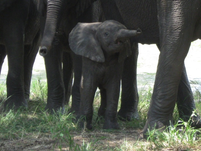 A baby elephant and family