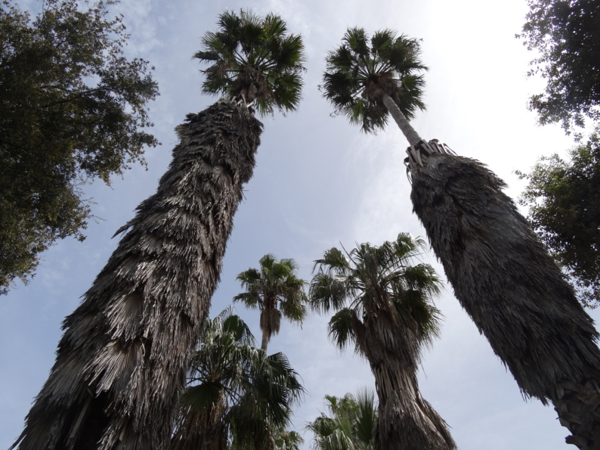 Old palm trees in the grounds of the Palazzo Reale di Portici