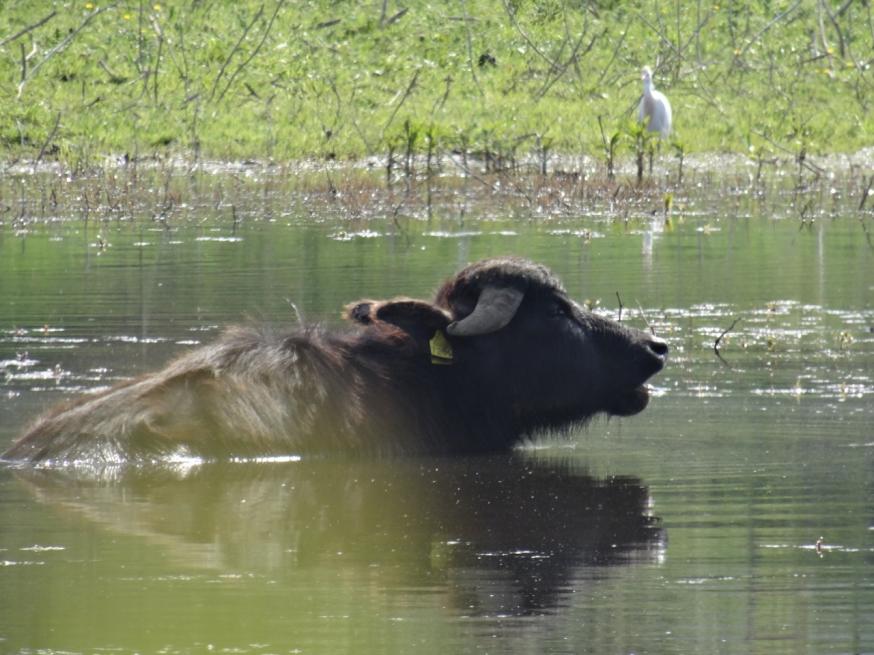 Water buffalo on the edge of Lago Patria
