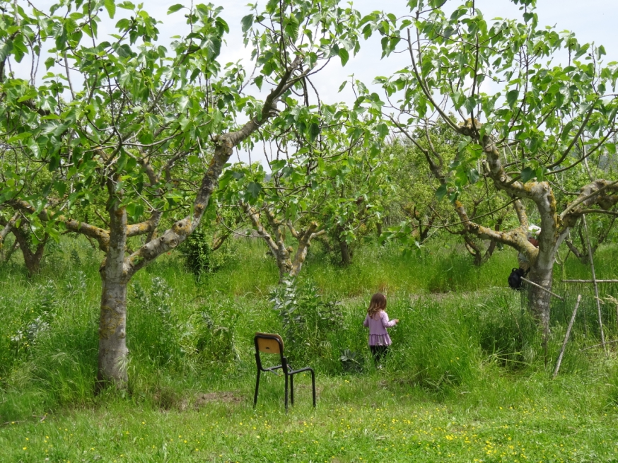 The orchard with the last of the bean crop