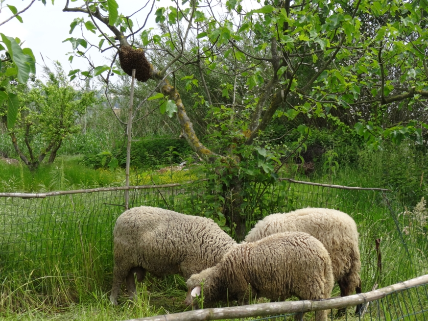 Sheep and bees in Campania, Italy