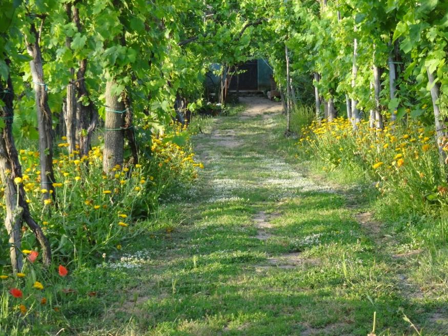 Vineyard on the edge of Lago d'Averno