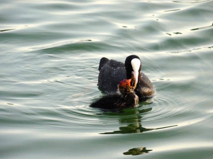Feeding time on Lago d'Averno