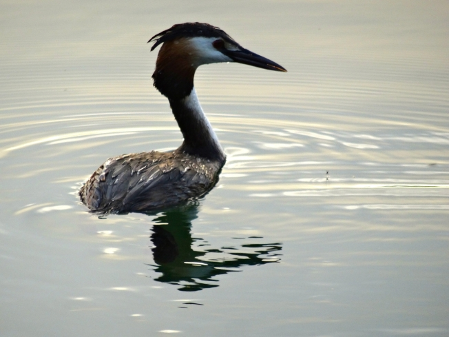 Crested Grebe on Lago d'Averno