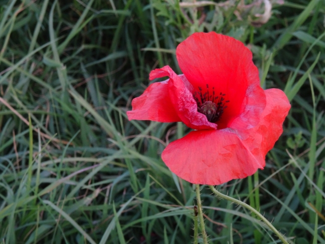 Poppy - one of the many wild flowers on the edge of Lago d'Averno