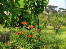 Vineyards, orchards and flowers on the edge of Lago d'Averno