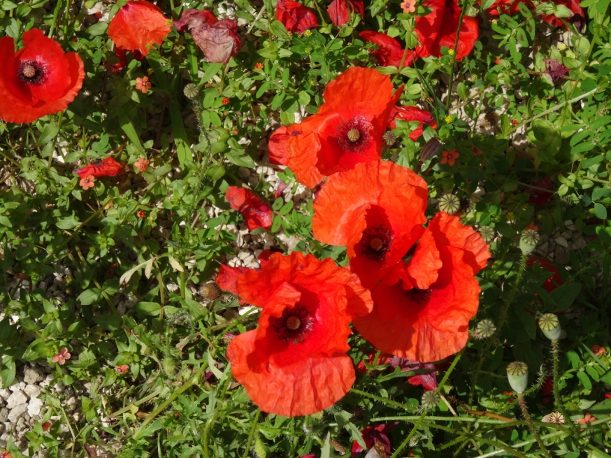 Poppies outside the entrance to the Villa Arianna in Stabiae