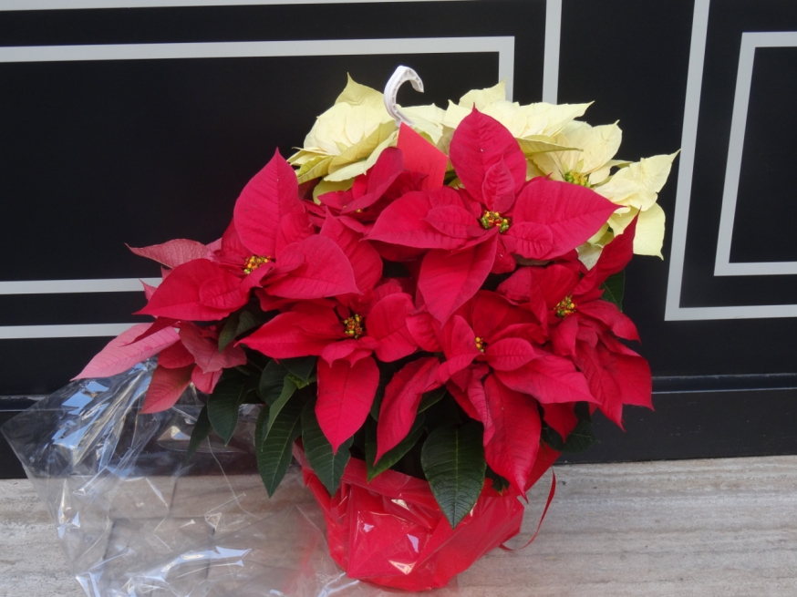 Poinsettia for sale in Naples, Italy