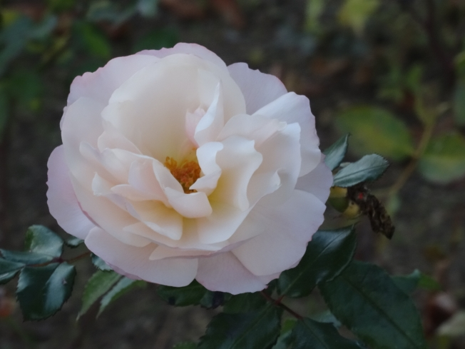 A December rose in its garden at Villa Cimbrone, Ravello, Italy