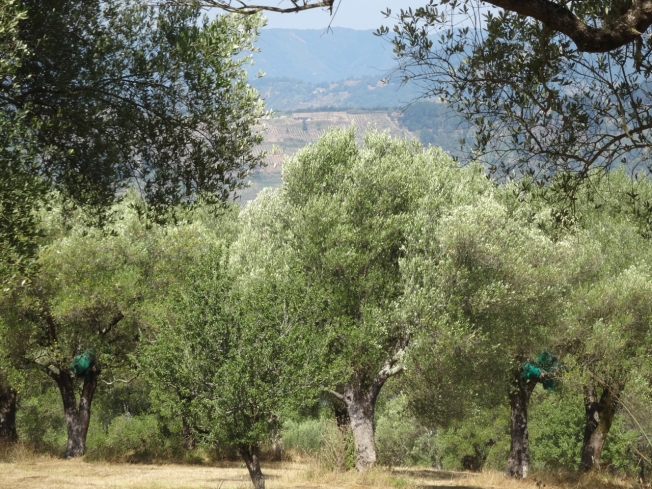 Olive trees and their harvest nets in Roccagloriosa in Cilento, Italy