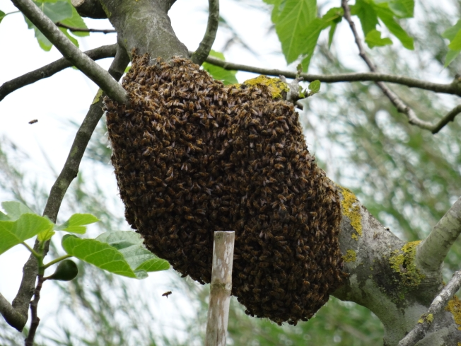 Bees swarming at the 'Sagra delle antiche taverne'