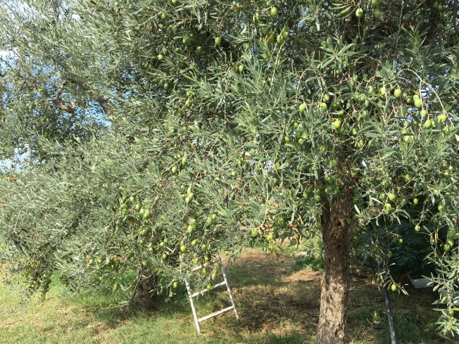 Olive tree by the Agriturismo Biologico Sant'Andrea in Puglia