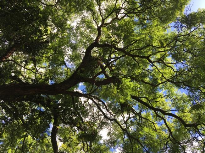 Jacaranda tree in Harare, Zimbabwe