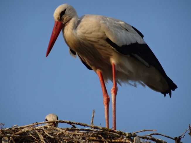 A long-legged stork in charge of the future