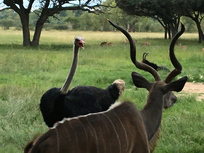 Ostrich and kudu at Wild is Life in Harare, Zimbabwe