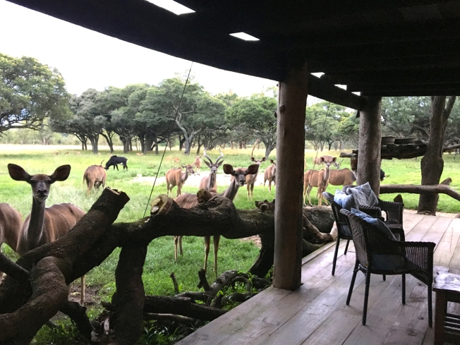 Kudu - tourist viewing at Wild is Life, outside Harare in Zimbabwe