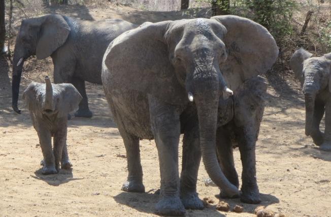 Zimbabwe's elephants