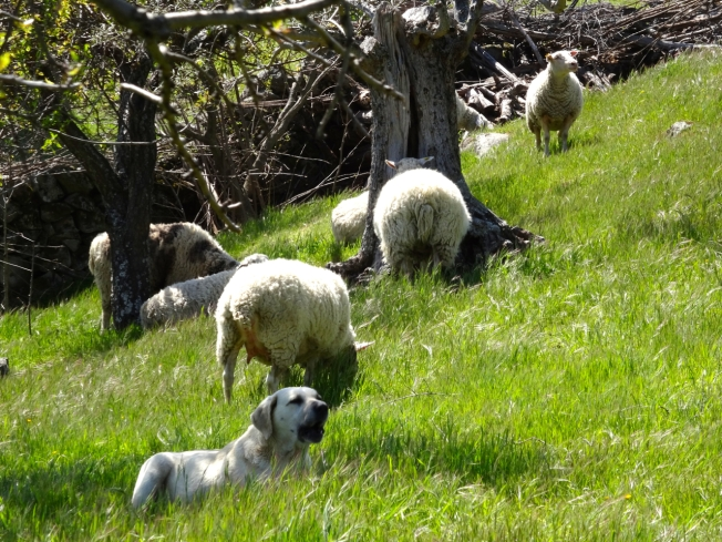 Sheep and the dog in charge in Extremadura, Spain