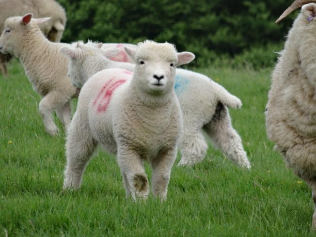 Sheep on Exmoor, England