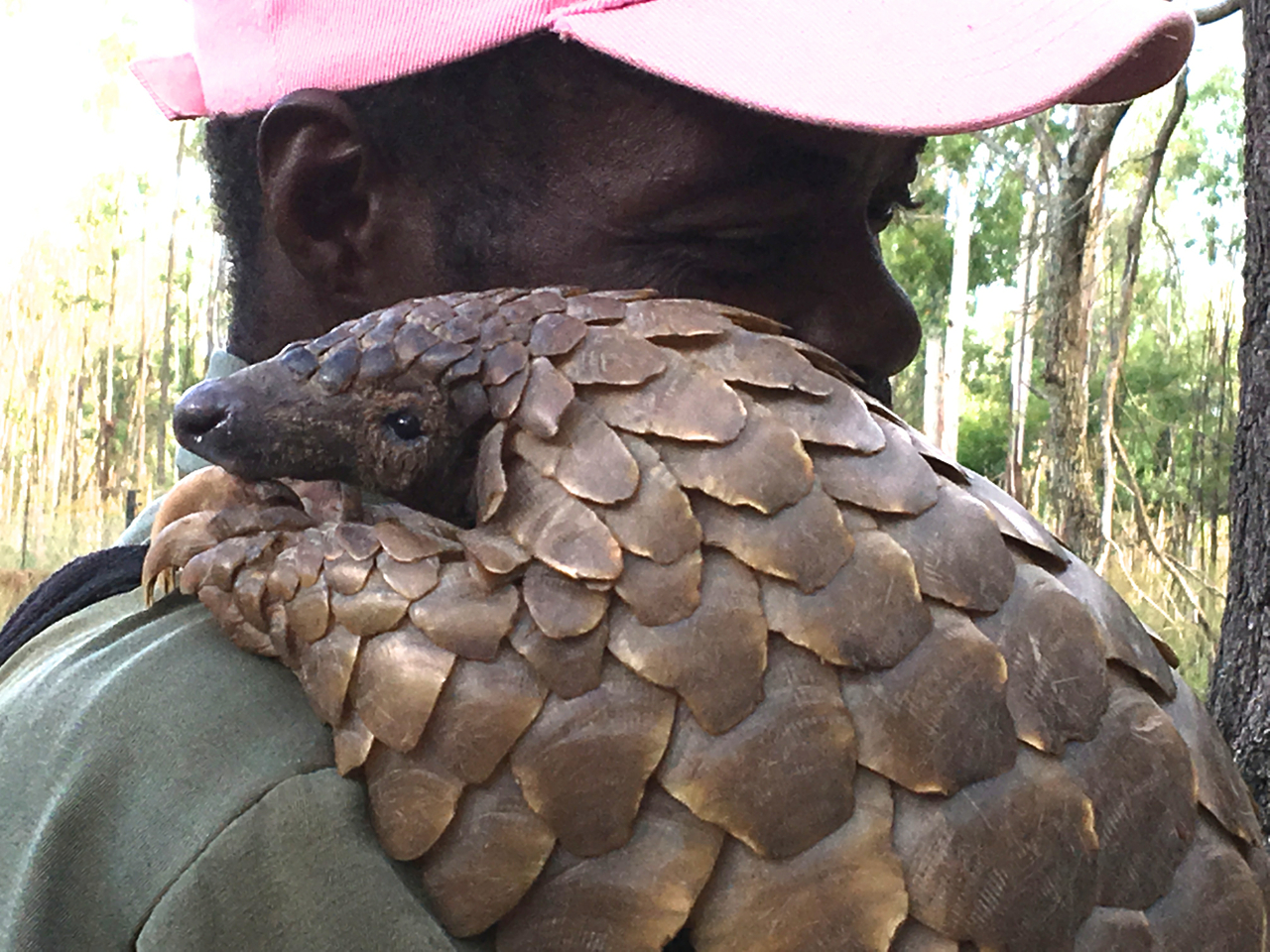 A pangolin in Zimbabwe with its handler/protector