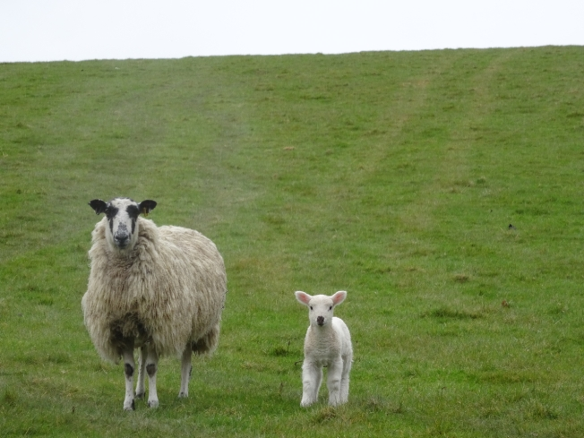 Sheep - these two in Lancashire, England