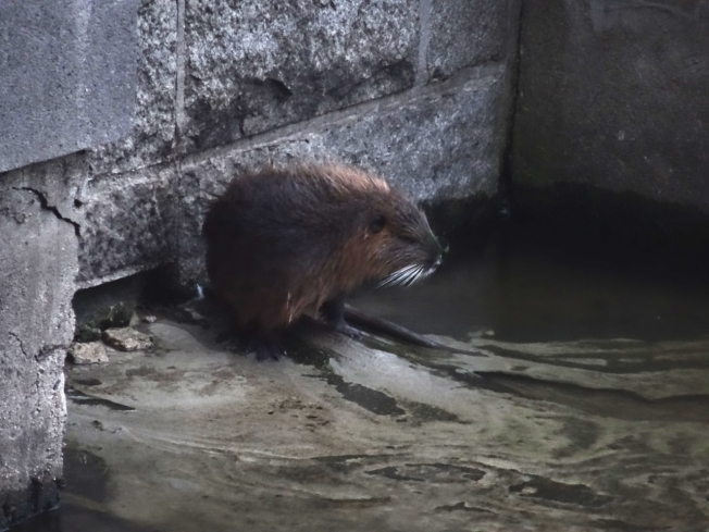 Eurasian beaver in the Vltava River in Prague