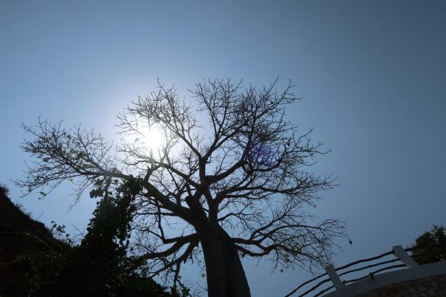 Baobab - Kilifi, Kenya