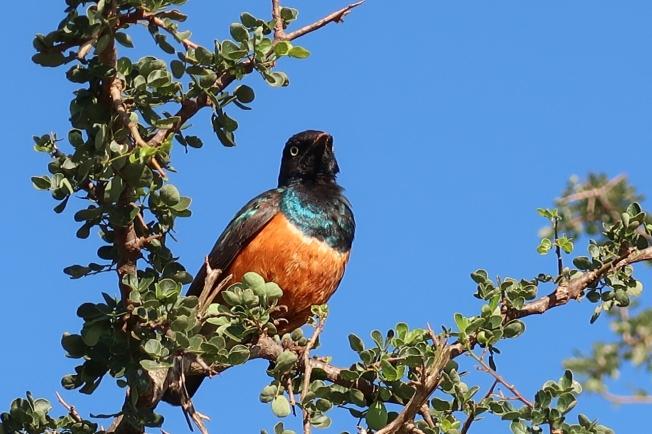 Superb Starling, Tsavo, Kenya