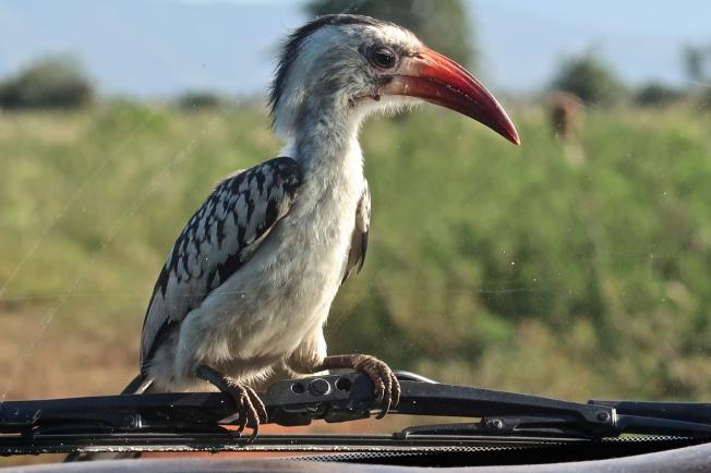 Hornbill, Tsavo, Kenya