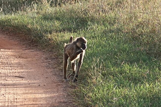 Baboon, Tsavo, Kenya
