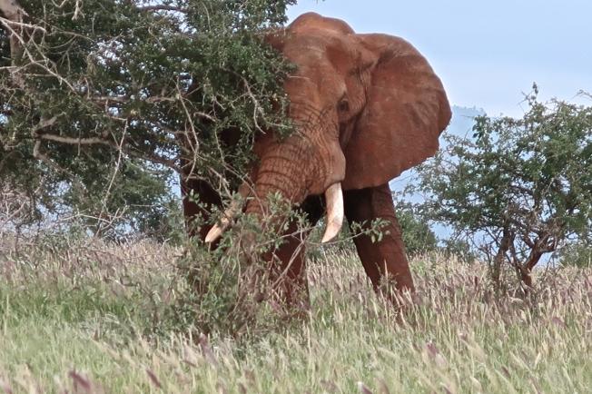 Elephant in Tsavo, Kenya