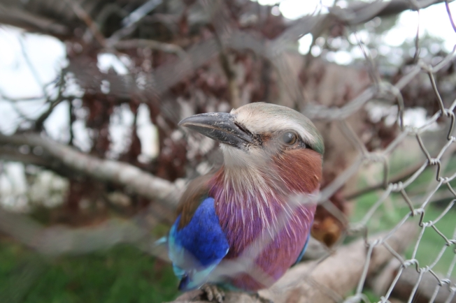 Caged bird in Zimbabwe